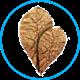 Catappa (листья миндального дерева)