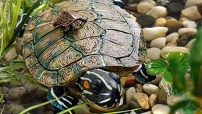 Остров для акватеррариума Exo Terra - большая черепаха 22x14x5,5 см.